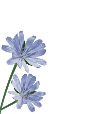 chicory flower: Chicory flower isolated on white background