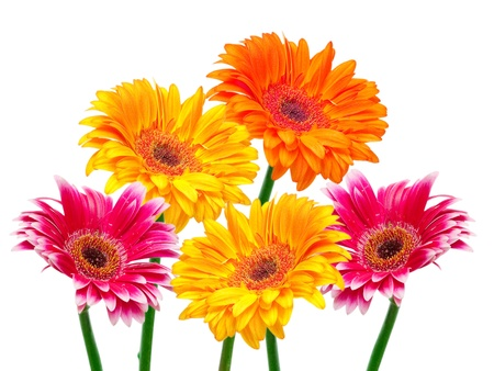 gerber flower isolated on white background Stock Photo - 10491900