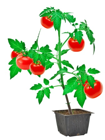 Tomato plant isolated on white background photo