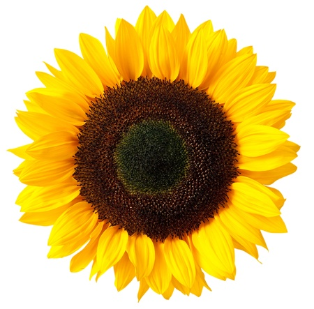 a sunflower: sunflower isolated on white background