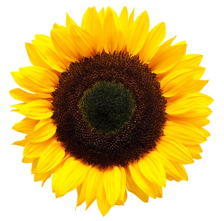 a white background: sunflower isolated on white background