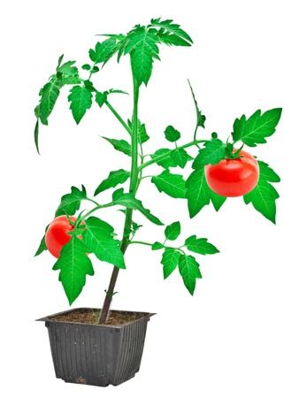 Tomato plant isolated on white background photo