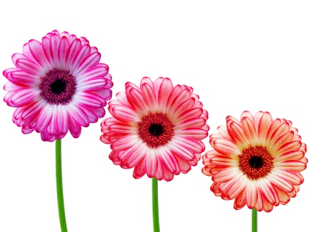 gerber flower isolated on white background Stock Photo - 10653792