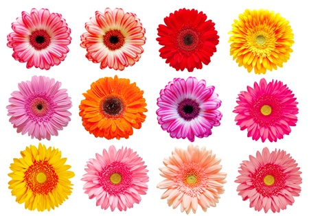 gerber flower isolated on white background photo