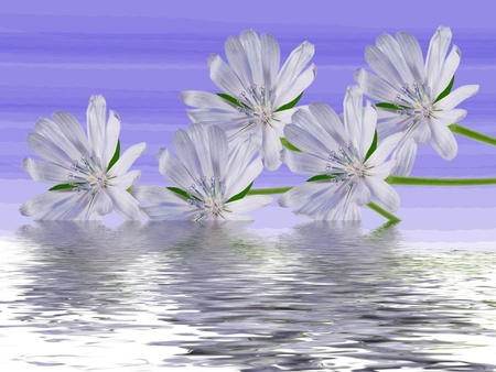 chicory flower: Chicory flower on blue background