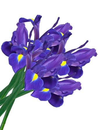 irises: purple iris flowers isolated on white background Stock Photo