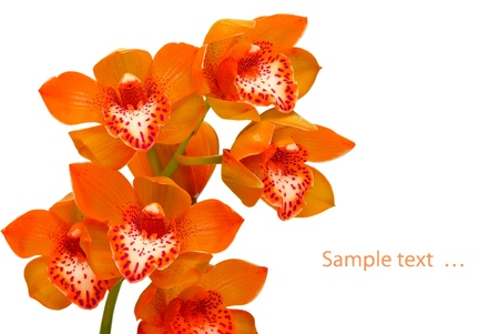 orchids: orchid isolated on white background Stock Photo