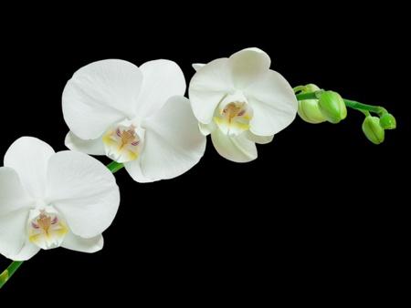 White orchid on black background Stok Fotoğraf