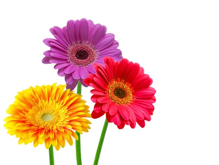 gerber flower isolated on white background Stock Photo