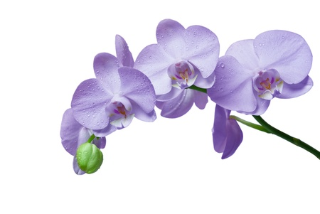 orchid isolated: orchid isolated on white background Stock Photo