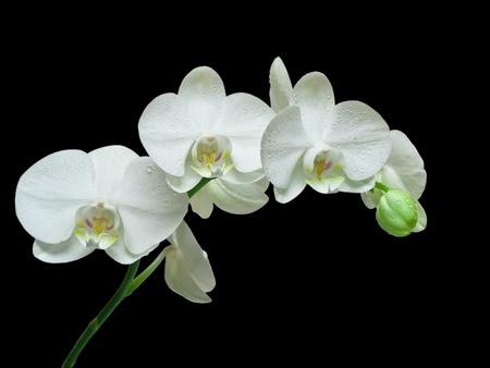 amarillo y negro: Orquídea blanca sobre fondo negro