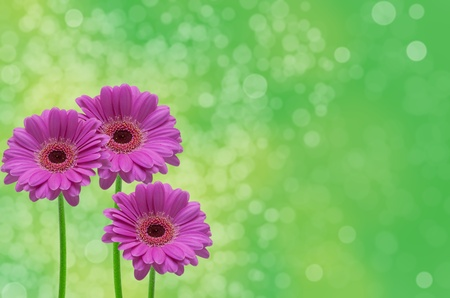 Gerber flower on green background photo