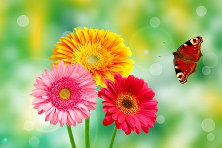 Gerber flowers on green summer background photo