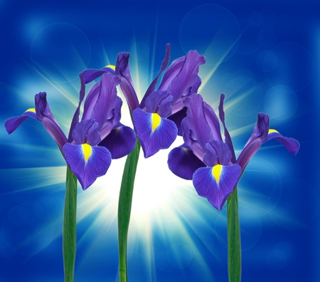 purple iris flower on blue background photo