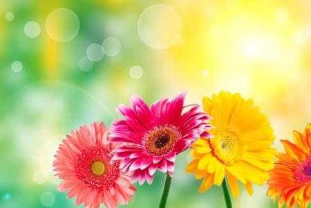 グリーン夏背景にガーバーの花