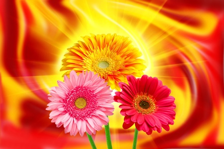 Gerber flower on lighten background photo