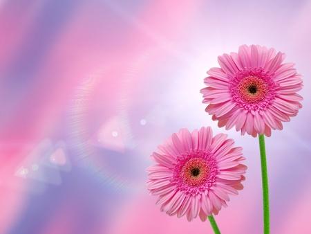 red gerber daisy: Gerber flower on lighten background