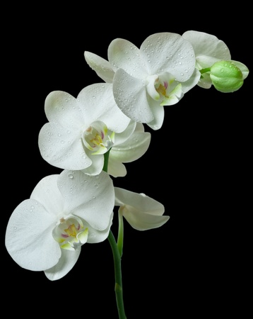 White orchid on black background Standard-Bild