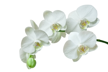 orchid isolated on white background Standard-Bild