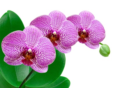 orchid isolated on white background Stock Photo - 11834388