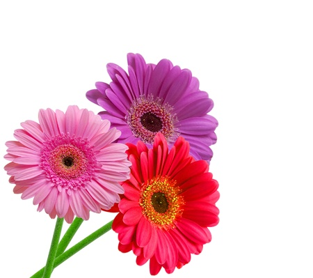 gerber flower isolated on white background 版權商用圖片