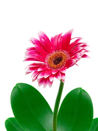 gerber flower isolated on white background Stock Photo - 11992347