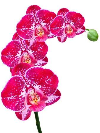 orchid isolated on white background Stock Photo - 12001220