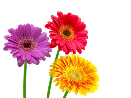 gerber flower isolated on white background Stock Photo - 12860682