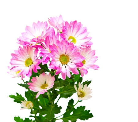 Dahlia isolated on white background photo