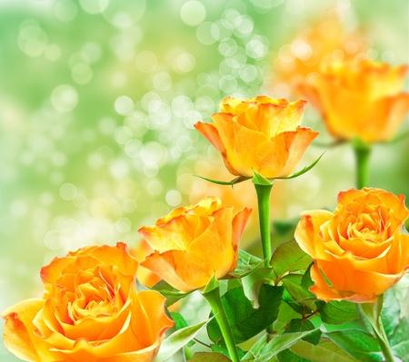 rosas amarillas: Primer plano de flor rosa