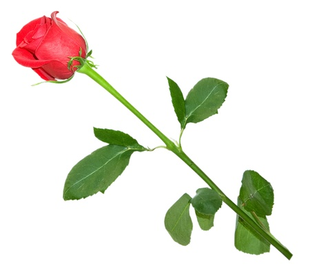 rose isolated on white background photo
