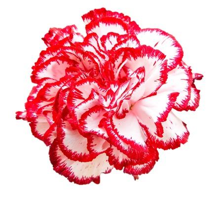 白の背景に分離されたカーネーションの花 写真素材