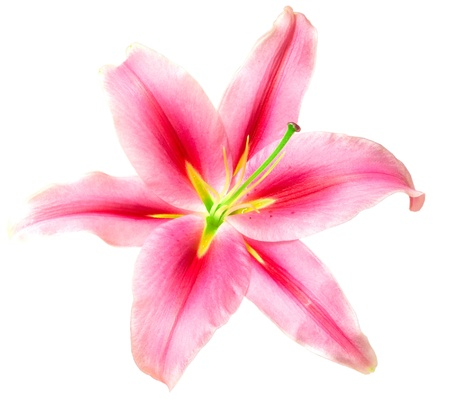pink lilies isolated on white background photo