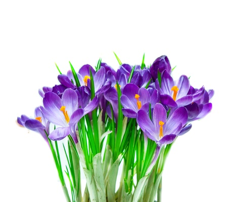 Purple crocus isolated on white background photo