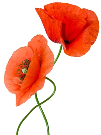 poppies: red poppy isolated on white background