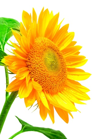sunflower isolated on white background photo