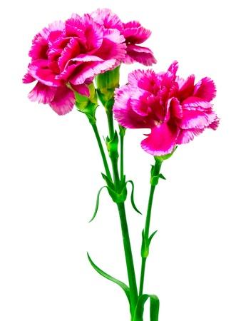 在白色背景隔绝的康乃馨花