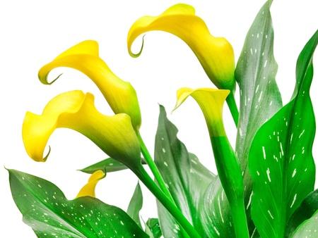 lilie: Calla-Lilie isoliert auf wei�em Hintergrund Lizenzfreie Bilder