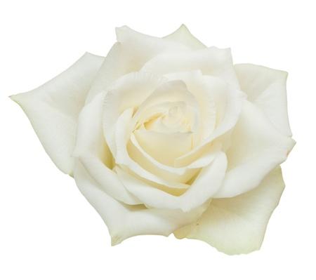 白い背景に分離されたローズ 写真素材