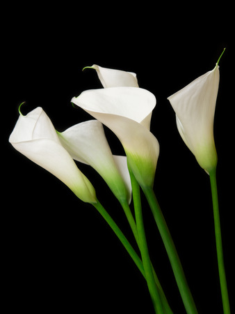 黒の背景にオランダカイウユリ花