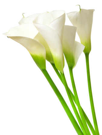 calla lily isolated on white background photo