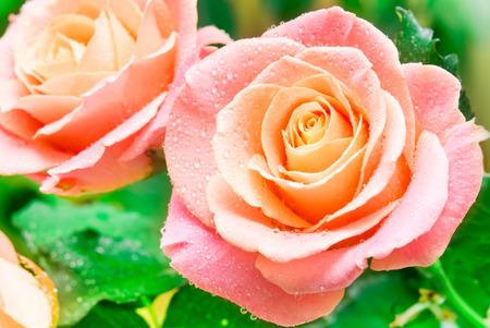 rosas naranjas: Primer plano de flor rosa