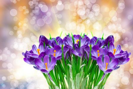 crocus: Purple crocus close up