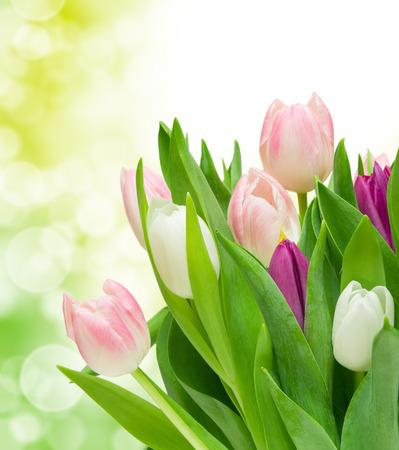 tulip flower: tulip flowers close up
