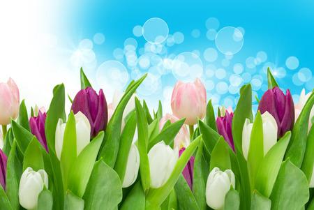 tulip: tulip flowers close up