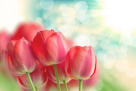 チューリップの花をクローズ アップ 写真素材
