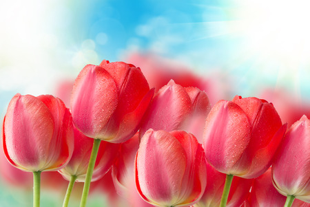 tulipan: tulipan z bliska