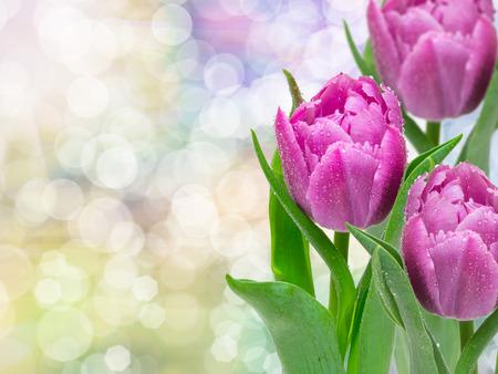 flores moradas: Primer plano de flores de tulip�n Foto de archivo