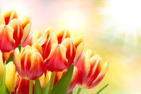 tulips: Close up of tulip flowers