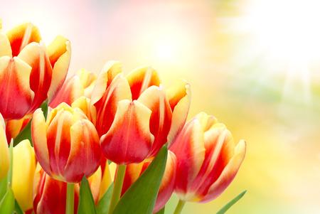 tulip: Zbliżenie kwiatów tulipanów